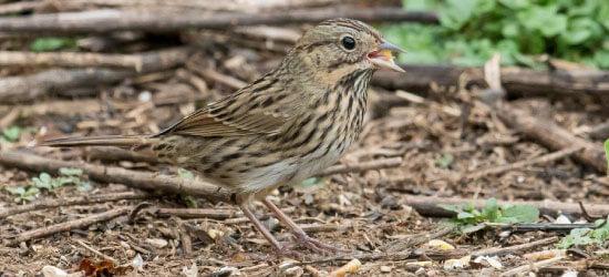 Lincoln's Sparrow at Bucktoe Creek Preserve by Hank Davis