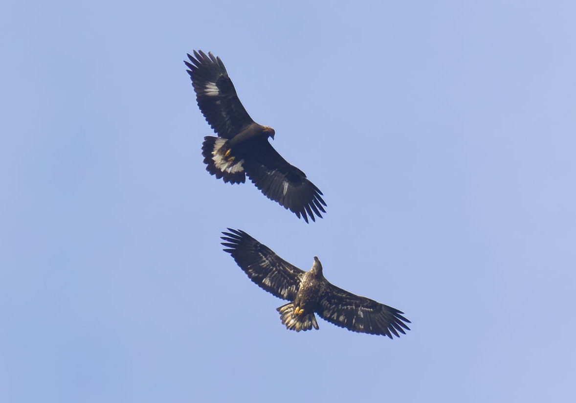 David Brown captured this amazing image of an immature Golden Eage (top) soaring with an immature Bald Eagle above the Ashland Hawk Watch.